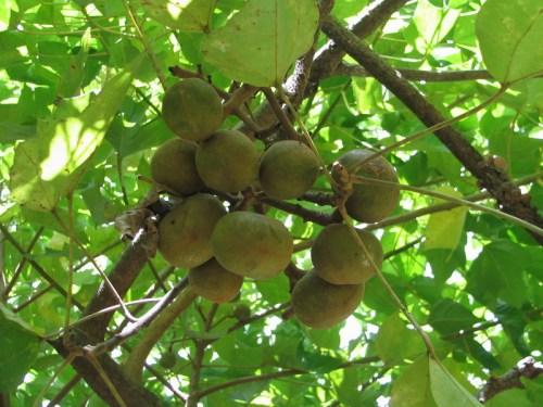 kukui guava plantation